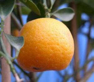 Мандарины помогают победить ожирение