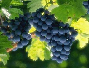 Виноград может помочь в борьбе с раком простаты