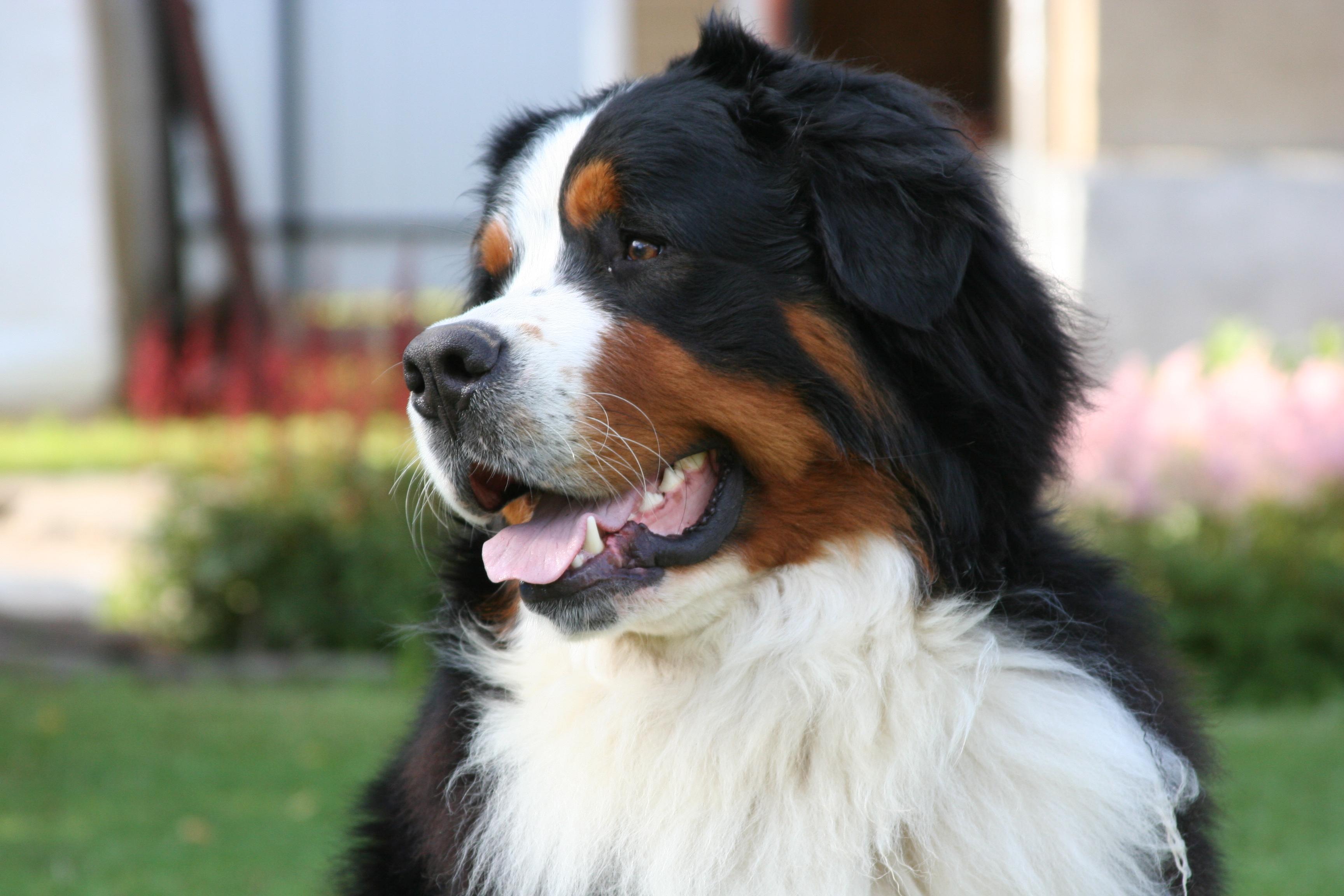 Особенности породы собак бернский зенненхунд
