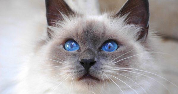 Пушистые кошки: самые красивые породы