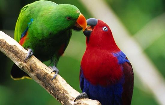 Самые распространенные мифы о попугаях