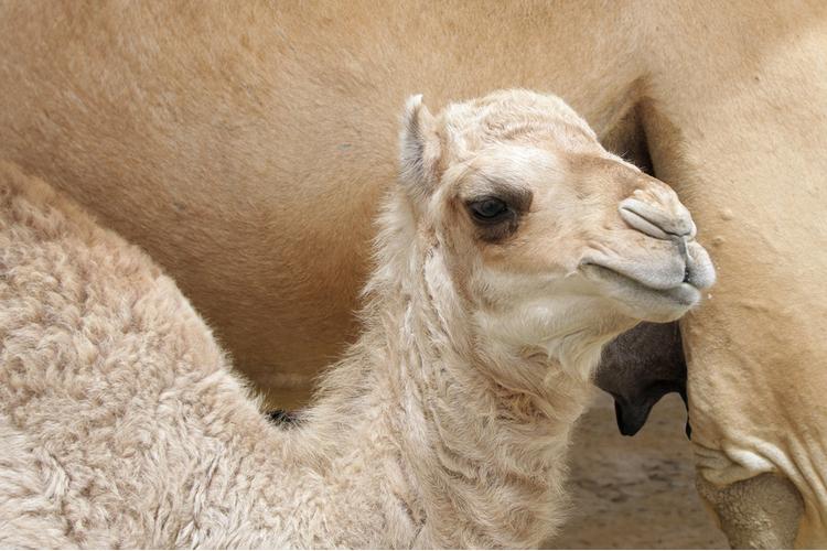 Молоко верблюда поможет при диабете